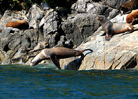 DIVING SEA LION