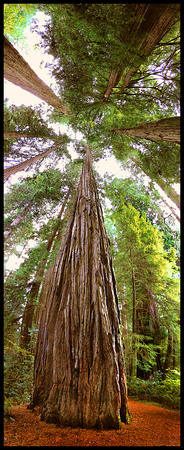 REDWOOD GIANT PANO
